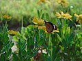 A Butterfly on Green land.jpg