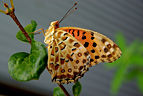 A argynnis butterfly in front of my house.jpg