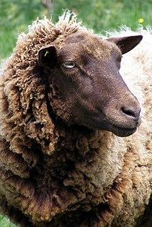Polled livestock