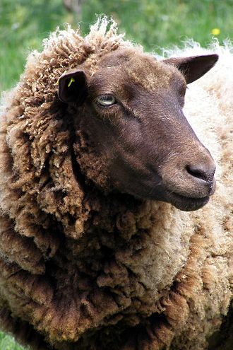 Polled livestock - This Shetland ewe is naturally polled