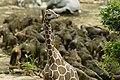 A giraffe - panoramio.jpg