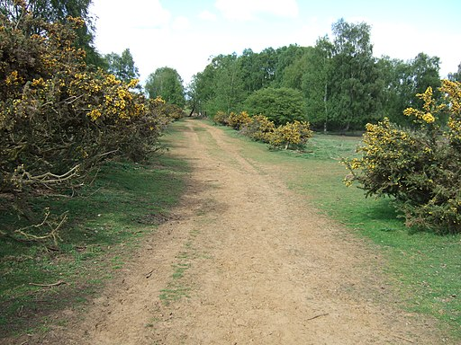 A gorse lined path on Roydon Common - geograph.org.uk - 1855065