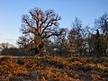 A great old oak in Two-Storm Wood, Richmond Park - geograph.org.uk - 2157250.jpg