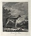 A greyhound used for coursing hares standing on a forest cle Wellcome V0021042EL.jpg