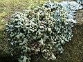 A lichen - Hypogymnia tubulosa - geograph.org.uk - 1184084.jpg