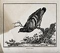 A pigeon perched on the branch of a dead tree. Etching by C. Wellcome V0020578.jpg