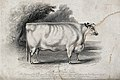 A short horned heifer. Etching by H. Beckwith, ca 1843, afte Wellcome V0021624.jpg
