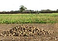 A sugar beet crop in field east of Ferry Road - geograph.org.uk - 1568349.jpg