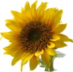 Sunflower symbol