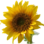 A sunflower-Edited.png