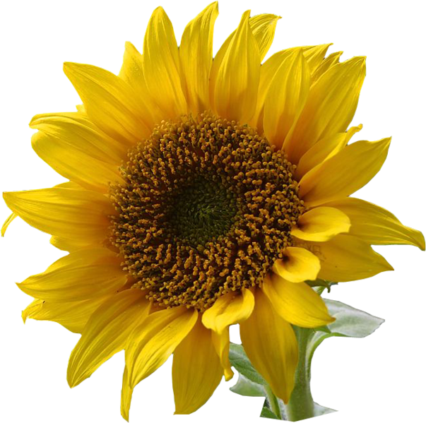 Dosiero:A sunflower-Edited.png