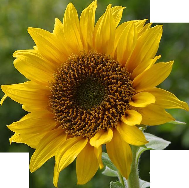 A sunflower-Edited