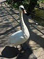 A swan asks if human has any bread - geograph.org.uk - 798660.jpg