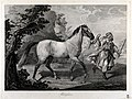 A white horse led by a man in Arab costume, in a landscape. Wellcome V0023275.jpg