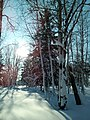 A winter forest in the North-West of Sakhalin. 8.jpg