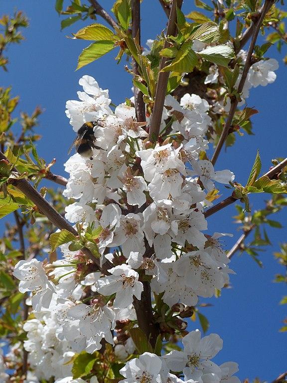 Čerešňa vtáčia - kvety