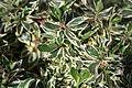 Abelia Grandiflora Conti.JPG