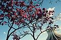 Aberta a temporada de ipês roxos em Brasília (41030201800).jpg