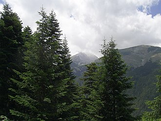 Abies borisii-regis - Abies borisii-regis in the Pirin Mountains, Bulgaria