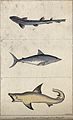 Above, a lesser spotted shark; middle, a porbeagle; below, a Wellcome V0020779ER.jpg