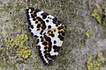 Abraxas grossulariata, Magpie, Bonte bessenvlinder 01.jpg