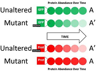Degron - Shown is a diagram representing two degron-identifying procedures outlined in the text. In the first (green) procedure, the unaltered form of the protein remains abundant over time while the mutant form containing a degron candidate decreases rapidly. In the second (red) procedure the unaltered form of a protein containing the degron candidate decreases rapidly overtime while the mutant form stripped of its degron remains abundant. A' vs. A are used to notate protein forms containing the degron vs not containing the degron.