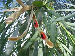 Acacia-salicina-pod-w-seeds