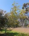 Acacia denticulosa 2.jpg