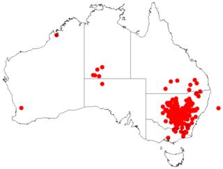 <i>Acacia doratoxylon</i> Species of plant