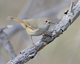 Brown thornbill - Image: Acanthiza pusilla Risdon Brook
