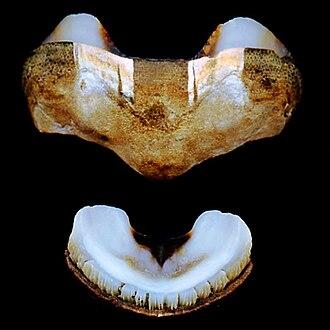Acanthopleura granulata - Image: Acanthopleura granulata plates