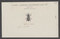 Acanthoscelis - Print - Iconographia Zoologica - Special Collections University of Amsterdam - UBAINV0274 010 18 0007.tif