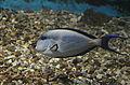 Acanthurus sohal at Red Sea Aquarium by Hatem Moushir 5.JPG