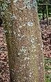 Acer davidii in Hackfalls Arboretum (1).jpg