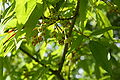 Acer mandshuricum flowers.jpg