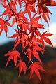 Acer palmatum, -Japan 01.jpg