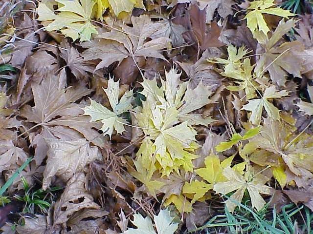 Follas de Acer platanoides