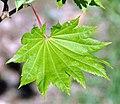 Acer shirasawanum (golden fullmoon maple) 2 (46332858381).jpg