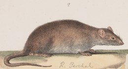 Acomys perchal - 1700-1880 - Print - Iconographia Zoologica - Special Collections University of Amsterdam - UBA01 IZ20500099 (cropped).tif