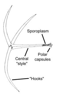 myxozoa