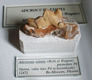 Johann Andreas Wagner - Pikermi fossil of a hyena tooth Adcrocuta eximia, showing the characteristic craquelure, Teylers Museum
