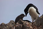 Adelie penguin with pup IMG 1202.jpg