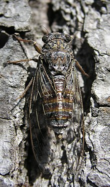 Adriatic Cicada 02.jpg