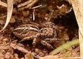 Adult female Pellenes limatus dorsal.jpg