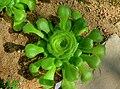 Aeonium subplanum (Crassulaceae) plant HDR.jpg