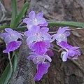 Aerides maculosa Lindl2.jpg