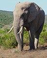 African Elephant (Loxodonta africana) bull ... (40280179393).jpg