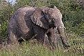 African bush elephant (Loxodonta africana) Etosha.jpg