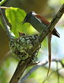 African paradise flycatchers, Terpsiphone viridis, nesting at at Walter Sisulu National Botanical Garden, December 1, 2014 (15755535168).jpg
