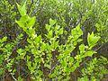 Afrocanthium gilfillanii, loof en blomme, Schanskop.jpg